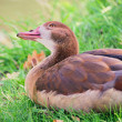 Wild goose 01 — Stock Photo
