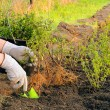 Stock Photo: Planting hedge 05
