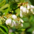Stock Photo: Bilberry flower 01