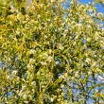 Mistletoe 21 — Stock Photo
