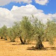 Olive tree 58 — Stock Photo