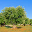 Stock Photo: Olive grove 39