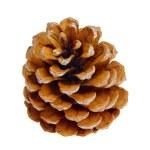 Pine cone 05 — Stock Photo