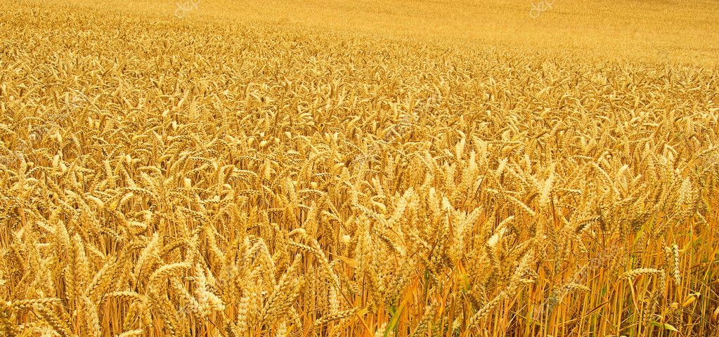 Wheat field 02 — Stock Photo #11470018