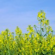 Stock Photo: Rapeseed 47
