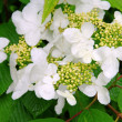 Hortensia 04 — Stock Photo