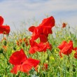Stock Photo: Corn poppy 44