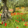 Corn poppy in olive grove 05 - Stock Photo