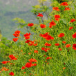 Stock Photo: Corn poppy near lake gard02