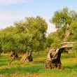 Stock Photo: Olivenhain - olive grove 31