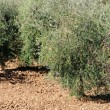 Stock Photo: Olive grove 35