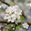 Plum blossom 72 — Stock Photo