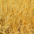 Rye field 12 — Stock Photo #11509148
