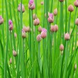 Stock Photo: Chives 02