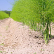 Spargelfeld - asparagus field 23 - Stock Photo