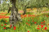Corn poppy in olive grove 05 — Stock Photo