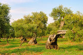 Olivenhain - olive grove 31 — Stock Photo