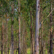 Stock Photo: Eucalyptus 17
