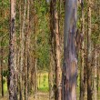 Stock Photo: Eucalyptus 18