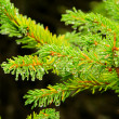 Stock Photo: Spruce twig 03