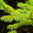 Spruce twig 03 — Stock Photo