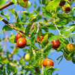 Jujube 04 — Stock Photo #11514775