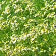 Camomile 25 — Stock Photo #11514803