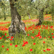 Corn poppy in olive grove 06 - Stock Photo