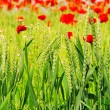 Stock Photo: Corn poppy in field 04