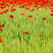 Stock Photo: Corn poppy in field 07