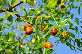 Jujube 04 — Stock Photo