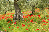Corn poppy in olive grove 06 — Stock Photo
