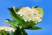 Chokeberries flower 02 — Stock Photo