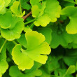 Ginkgo 43 — Stock Photo #11529119