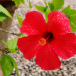 Hibiscus 10 — Stock Photo #11529256