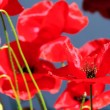 Stock Photo: Corn poppy 42
