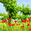 Corn poppy in vineyard 02 — Stock Photo #11529489