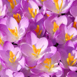 Stock Photo: Crocus 39