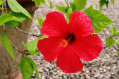 Hibiscus 10 — Photo