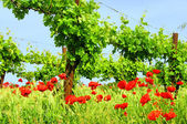 Corn poppy in vineyard 02 — Stock Photo