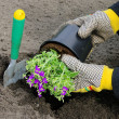 Stock Photo: Shrub planting 15