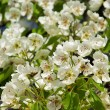 Flowering of pear tree 64 — Stock Photo