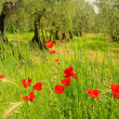 Stock Photo: Corn poppy in olive grove 02