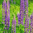 Stock Photo: Lupin 11