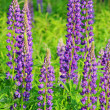 Lupin 11 — Stock Photo