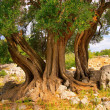 Olive tree trunk 11 — Stock Photo