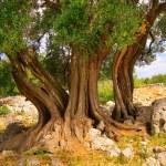 Olive tree trunk 11 — Stock Photo