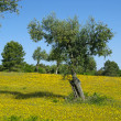 Stock Photo: Olive tree wildflower meadow 01