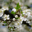 Plum blossom 59 — Stock Photo