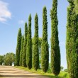 Stock Photo: Tuscany cypress 03